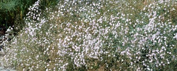 Gypsophila_repens_-_plants_aka-585x235